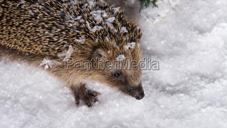 little hedgehog searching for fodder in