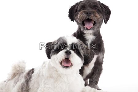 shi tzu dogs in the studio
