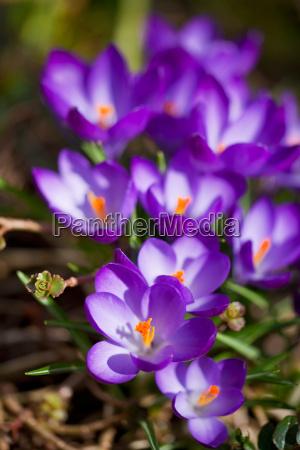 lila krokusblueten im fruehjahr