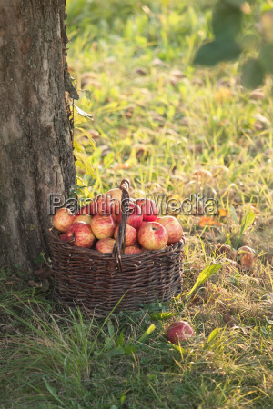 harvesting apples in the garden