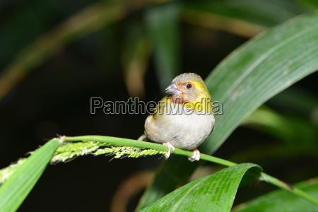 small finch bird