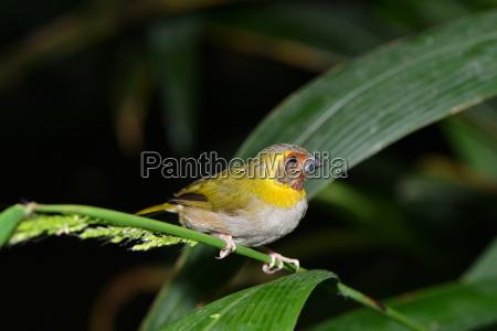 little finch bird