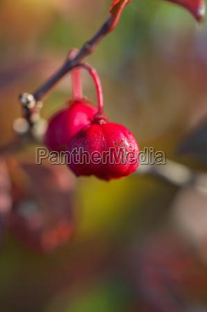 common spindle bush euonymus europaeus macro