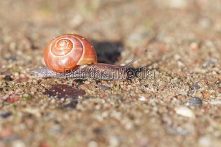 grove snail cepaea nemoralis