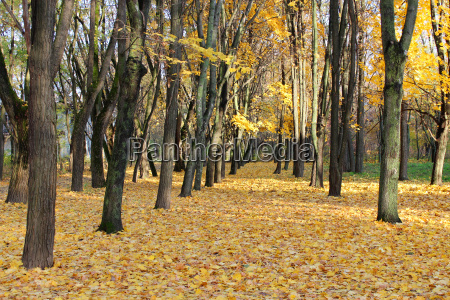 autumn park with trees and yellow