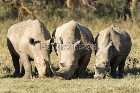 kenya rhino 34128