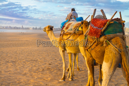 camel caravan at the beach of
