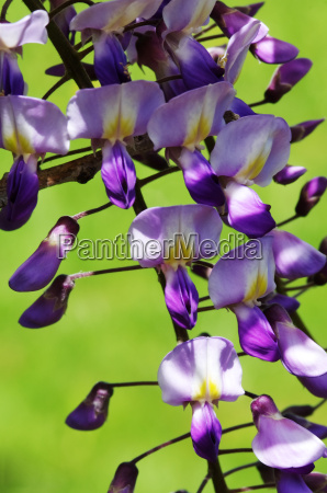 inflorescence of a wisteria are