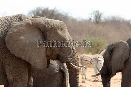 african elephants at a waterhole