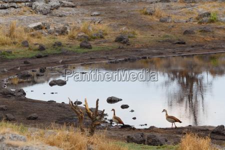egyptian goose in etosha