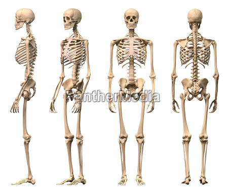 male human skeleton four views front