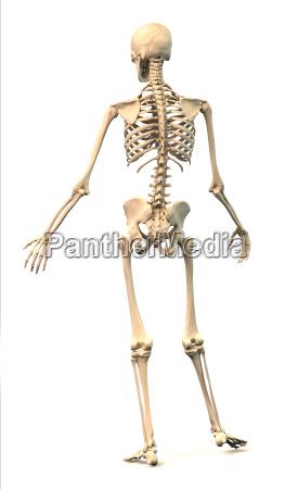 male human skeleton in dynamic posture