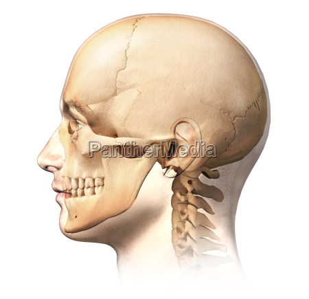 male human head with skull in
