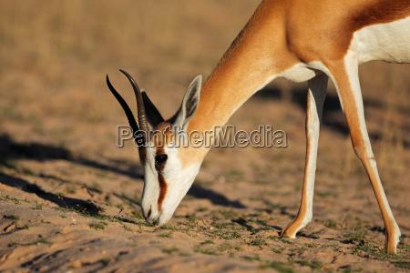 springbok antelope portrait