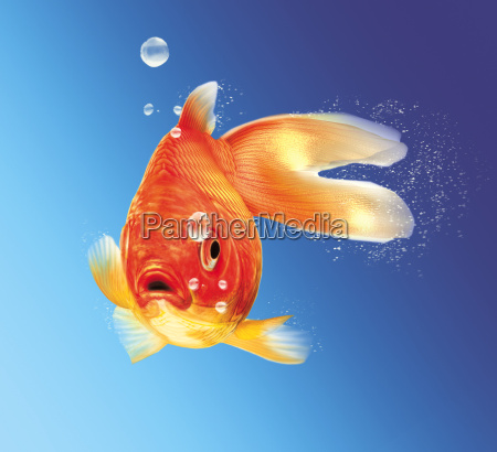 gold fish facing the viewer with