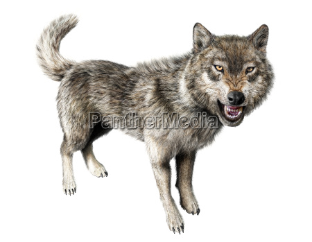 wolf growling standing on white background