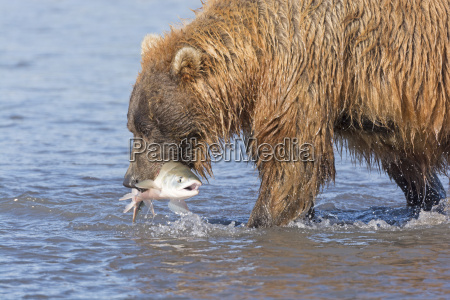 grizzly bear with a fish in