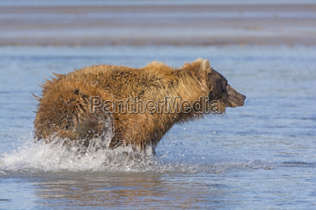 bear chasing fish