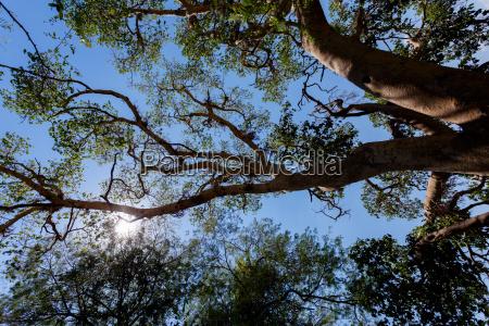 treetop in chobe botswana