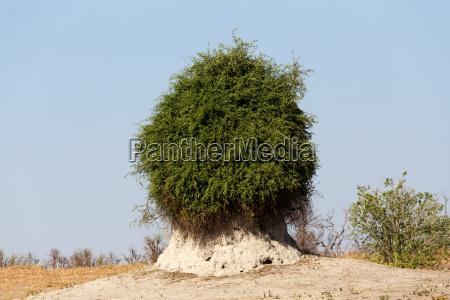 termite mound overgrown with green bush