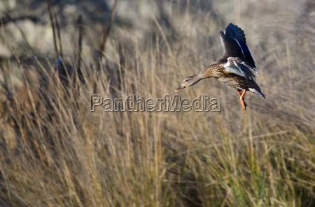 female mallard duck coming in for