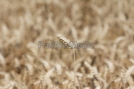 single wheat in front of golden