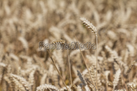 golden white wheat field at harvest
