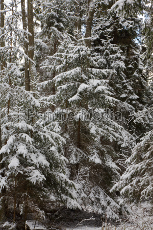 winter landscape of natural forest with