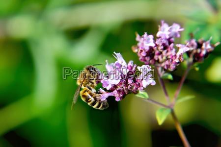 bee on flower oregano