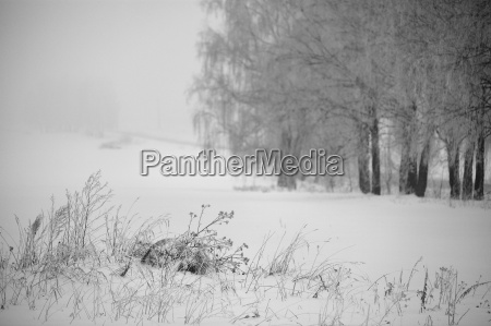 black and white winter birch trees