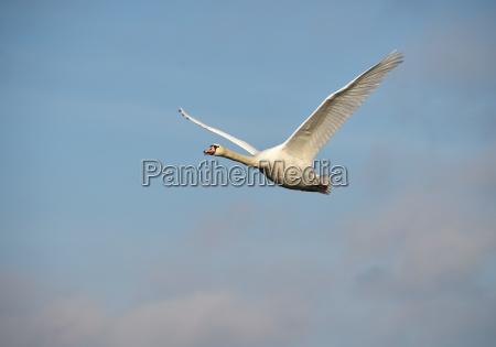 swan is flying