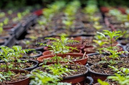 tagetes cultivation tagetes plant breeding