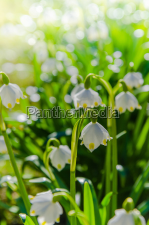 white spring snowdrops close up