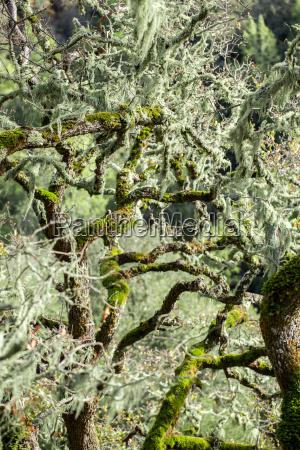 oak tree covered in lace lichen