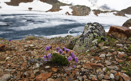 flower at the icy alpine lake