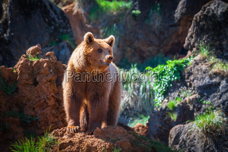 north american grizzly bear at sunrise