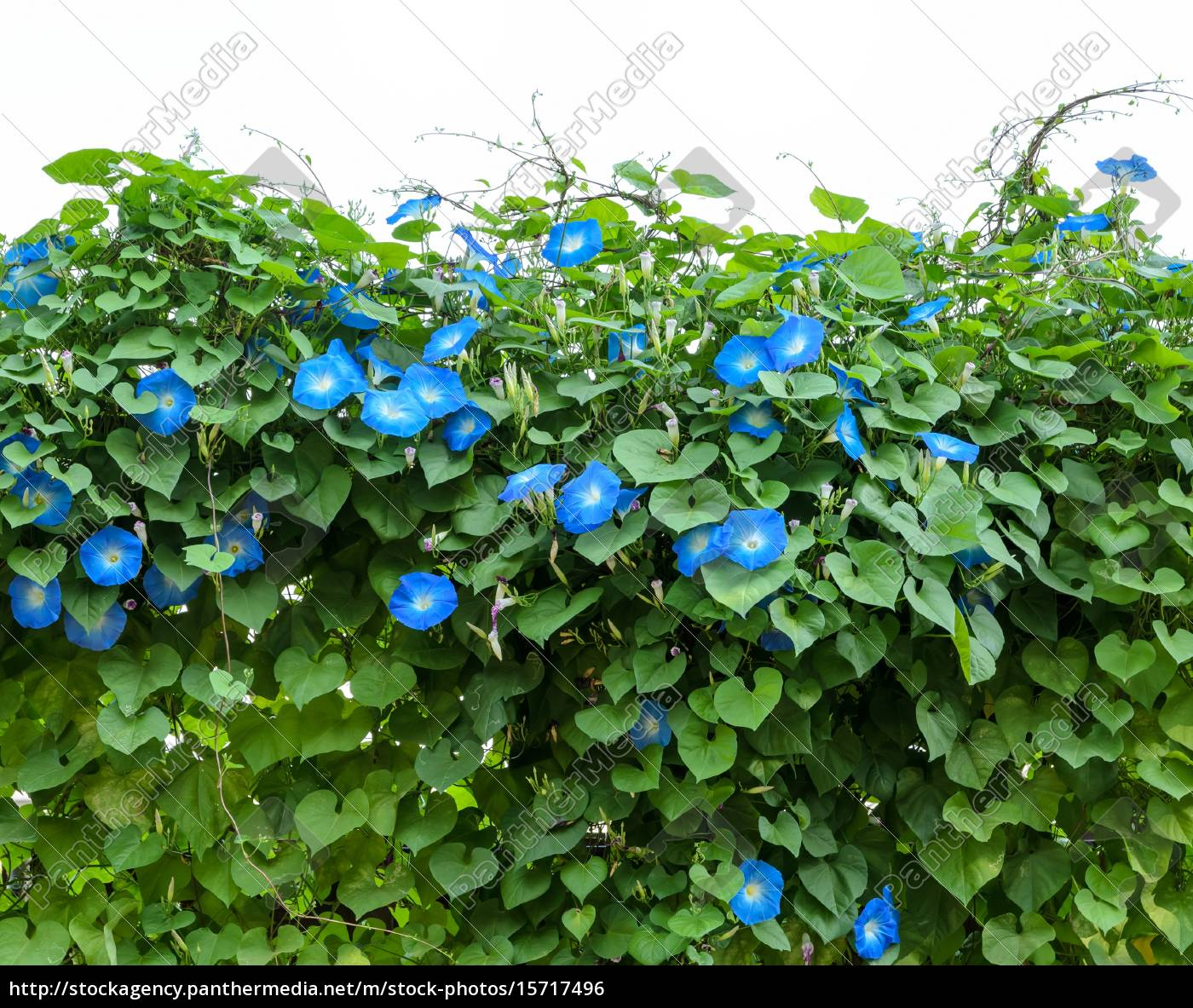 Blue Morning Glory Flower Plant Royalty Free Photo 15717496 Panthermedia Stock Agency