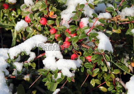 snow covered red berries on green