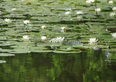 white waterlily in lake with forest