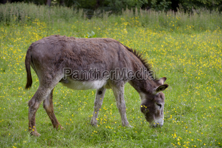 brown donkey grazing