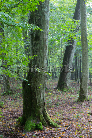 monumental hornbeam tree of bialowieza forest