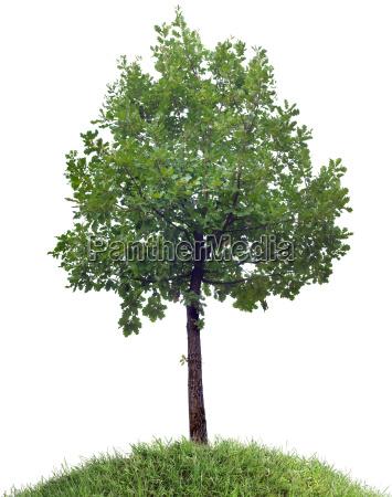 oak tree cutout