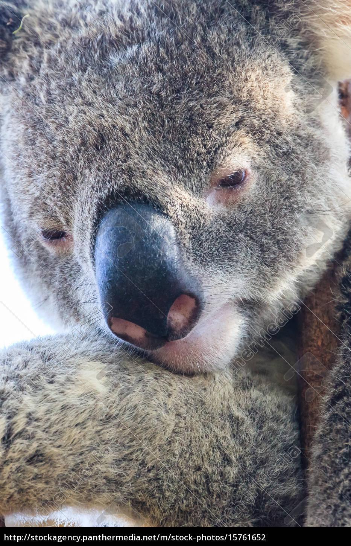 pondering, koala - 15761652
