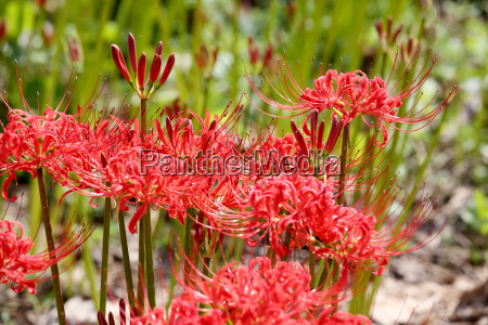 red spider lily lycoris radiata cluster