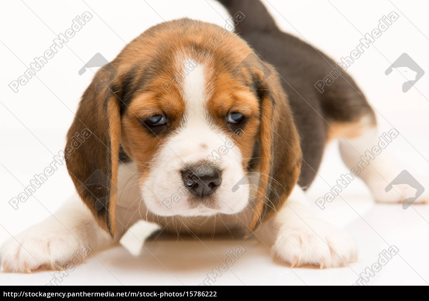beagle, puppy, on, white, background - 15786222