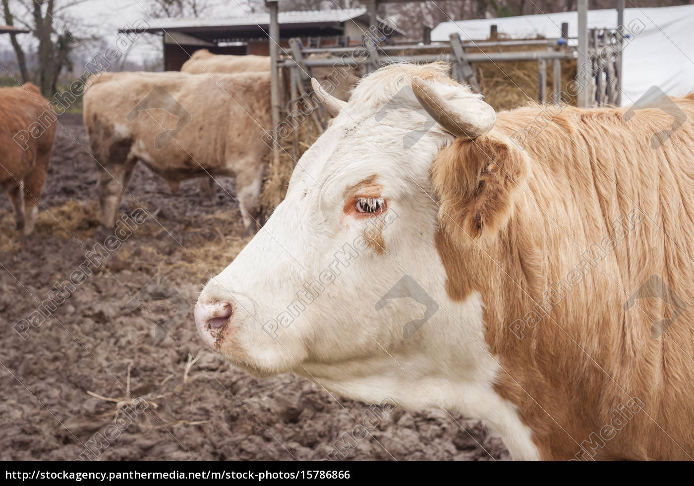 closeup, of, a, cow - 15786866