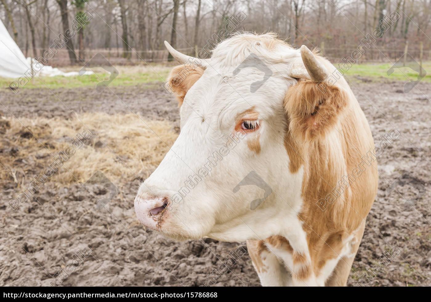 closeup, of, a, cow - 15786868