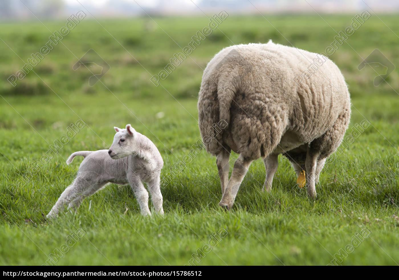 lamb, behind, mother - 15786512