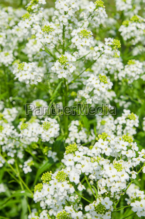 small, white, flowers, of, horseradish, , close-up - 15786394