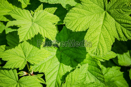 young, green, leaves, of, a, raspberry, - 15786390